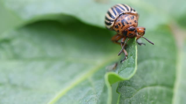 Colorado potato beetle on leaf eating it. Colorado beetle fighting with ant.