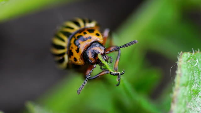 colorado potato beetle - insetto video stock e b–roll