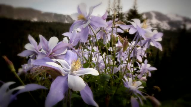Colorado Summer Alpine Columbine Wildflowers and Mountains Background video