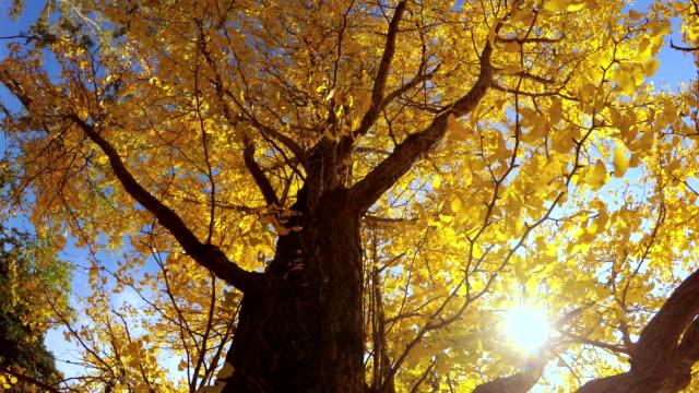 色葉-4 k- - 銀杏樹 個影片檔及 b 捲影像