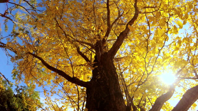 Colored leaves -4K- Colored leaves -4K- ginkgo tree stock videos & royalty-free footage