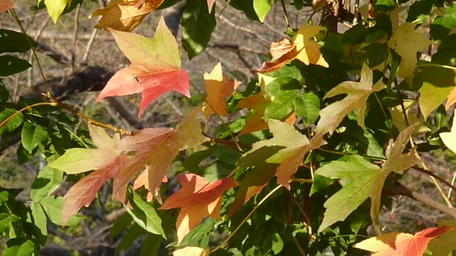 colored leaves video