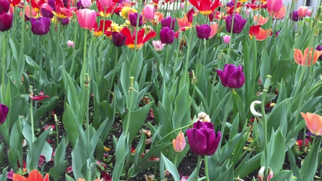Colored Tulips in Chicago city, Illinois, USA
