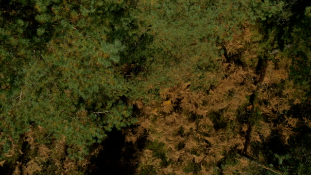 AERIAL: Colorful autumn forest in bidr's perspective video