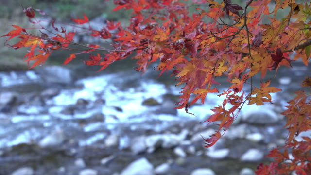 Colorful Autumn Leaf and River in korankei, Japan video