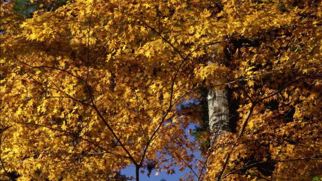 Colorful Autumn Leaf in Korankei, Aichi, Japan video