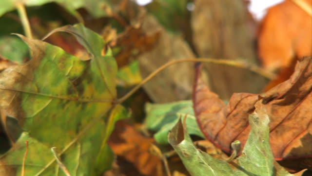 Colorful Autumn Leaves - close up video