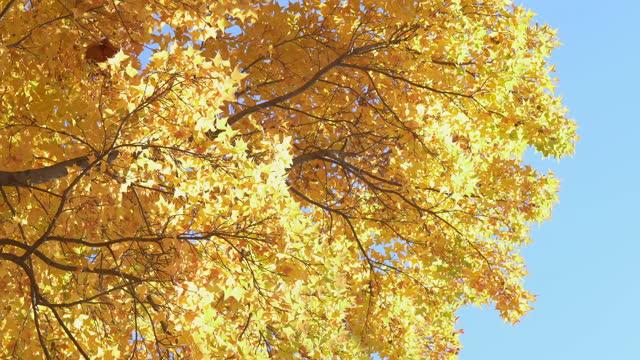 風に揺れるカラフルな紅葉 - 叙情的な内容点の映像素材/bロール