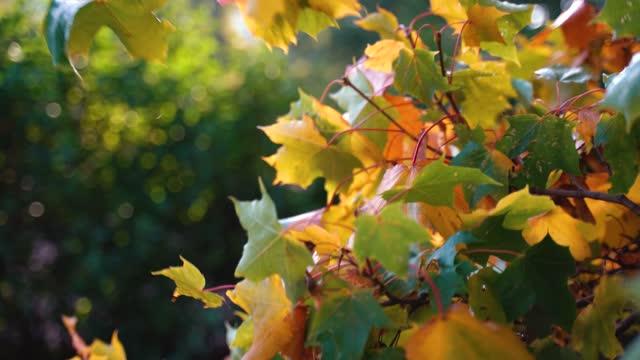 vidéos et rushes de feuilles d'érable d'automne colorées. - nervure