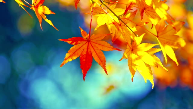 Colorful autumn maple leaves video