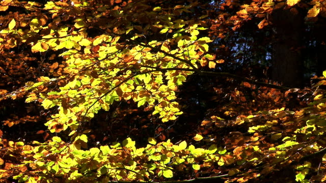 Colorful Autumn Tree In The Sunlight Autumn leaves of a beech tree moving in the wind medium shot branch plant part stock videos & royalty-free footage