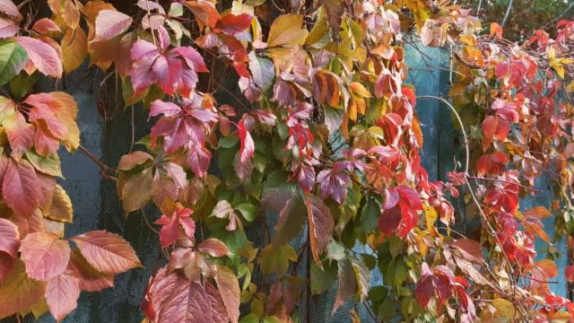Colorful autumn virginia creeper video