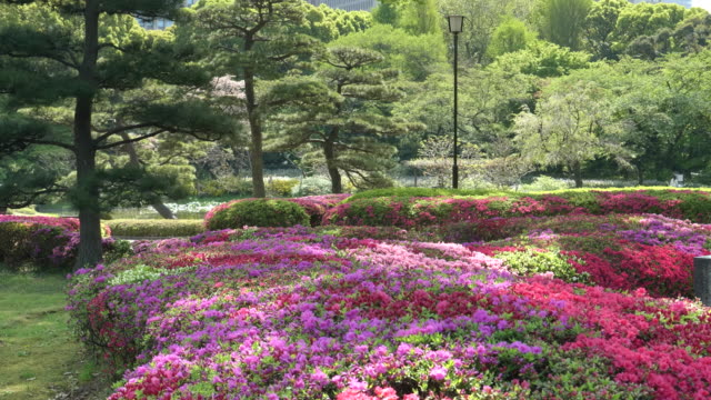 colorful azaleas beds at the imperial palace in tokyo colorful pink and purple azaleas beds at the imperial palace's east garden in tokyo, japan during spring ornamental garden stock videos & royalty-free footage