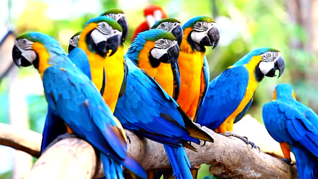 Colorful Blue and Gold Macaws video