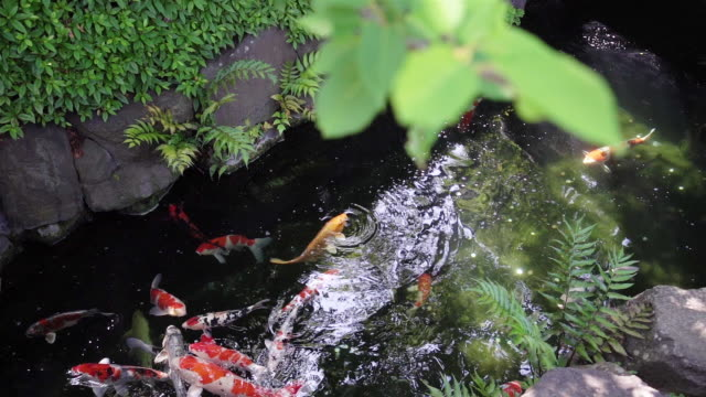 Colorful carp and Koi Carp Fish are swimming in Japanese garden pond with stones.