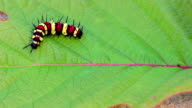 istock Colorful caterpillar on the red leaf 825242872