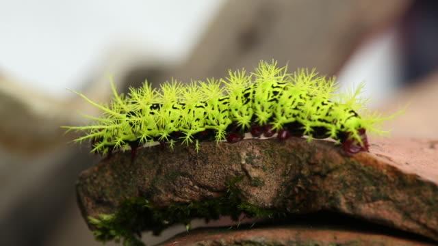 stockvideo's en b-roll-footage met kleurrijke caterpillar loopt naar de rand - rups