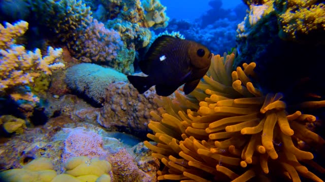 Colorful Clownfish video