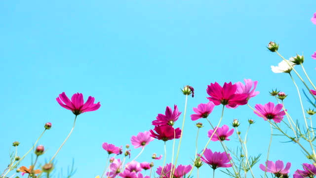 colorful cosmos flowers swaying in the heavy wind
