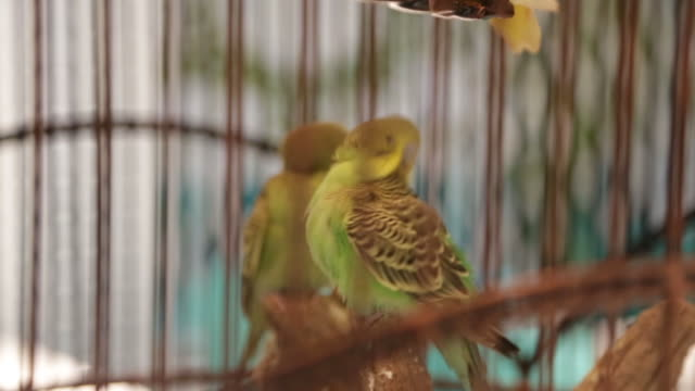 Colorful couple of canaries in a cage