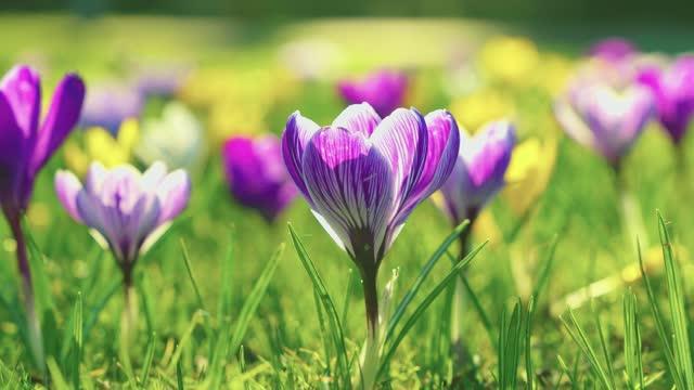 vidéos et rushes de crocus colorés dans le domaine de ressort ; belles fleurs et pré vert - crocus