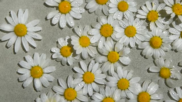 colorful daisy summer flowers rotating. close-up summer floral composition white camomile floating on water surface, top view