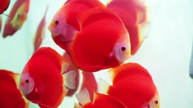 Colorful discus fish swim in the aquarium.