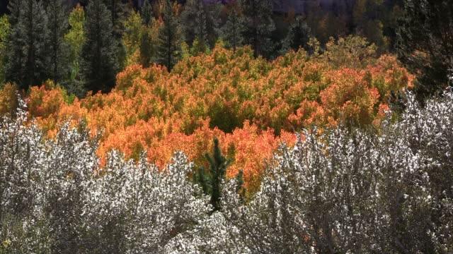 Colorful fall aspen video