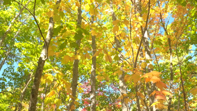 LOW ANGLE: Colorful fall foliage tree canopies against blue sky in sunny autumn video