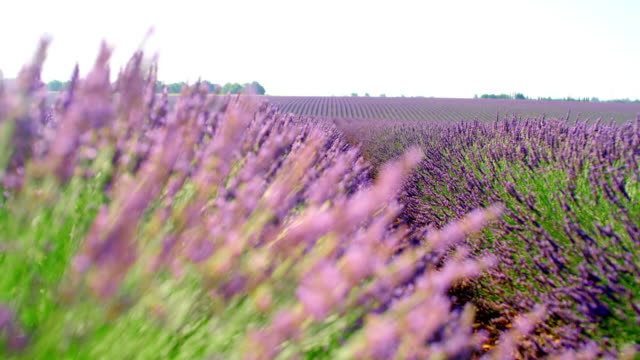 MS Colorful field of lavender plants Medium shot of beautiful lavender plants slowly swaying in the wind. Plateau De Valensole. Provence-Alpes-Cote d'Azur. France. Shoot in 8K resolution. provence alpes cote d'azur stock videos & royalty-free footage