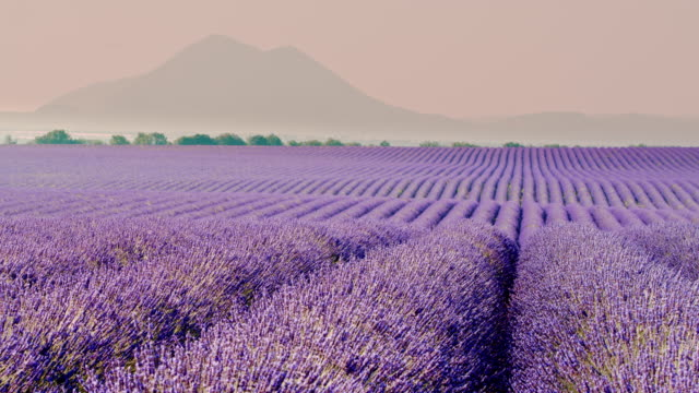 DS Colorful field of lavender plants video