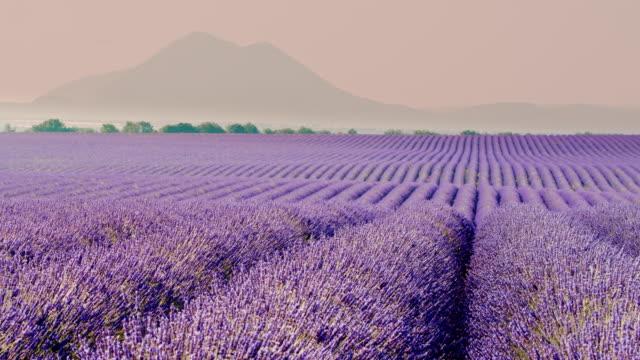 vídeos de stock e filmes b-roll de ds colorful field of lavender plants - lavanda planta