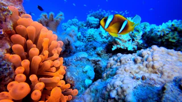 vídeos y material grabado en eventos de stock de colorido jardín anémona roja - arrecife fenómeno natural