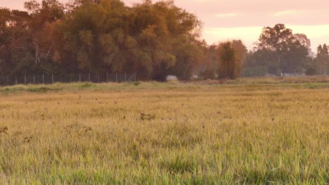 vídeos de stock, filmes e b-roll de hd : colorido arroz dourado - manipulação digital