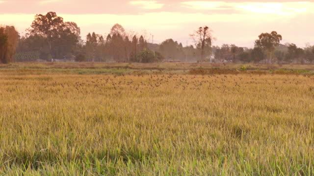 vídeos de stock, filmes e b-roll de colorido arroz dourado - manipulação digital
