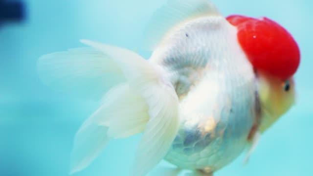 bunte goldfische schwimmen im aquarium. - ichthyologie stock-videos und b-roll-filmmaterial