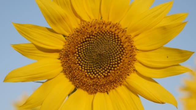 vídeos de stock, filmes e b-roll de planta helianthus colorida com insetos no campo - flor temperada
