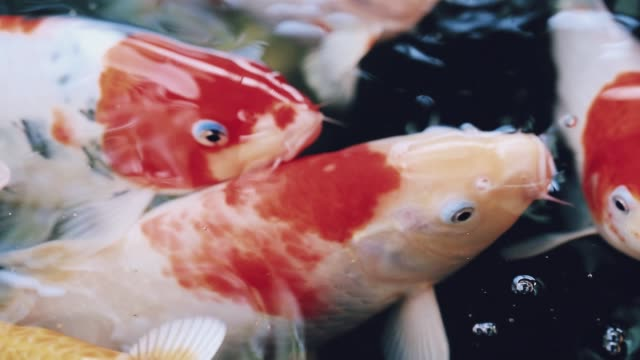 Colorful koi fish are swimming in a pond with clear water. The concept of raising fish in the house to relax.