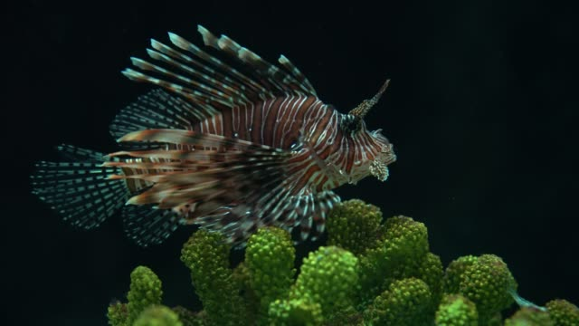 Colorful lion fish swimming in coral reefs at the aquarium.