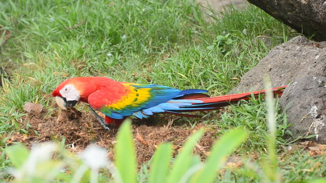 Colorful Macaws Eating Food video