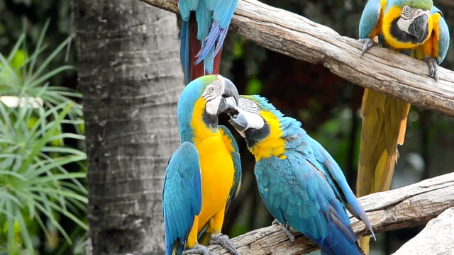Colorful macaws in the forest video