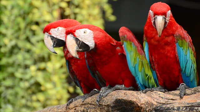 Colorful Macaws in the nature video