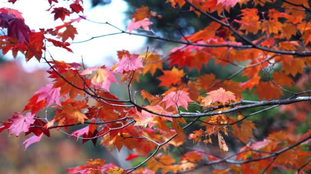 日本の秋、冬に色鮮やかなカエデの葉 - 秋点の映像素材/bロール