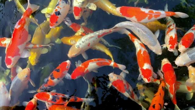stockvideo's en b-roll-footage met kleurrijke vis of fancy karper zwemmen en eten in het water - carp