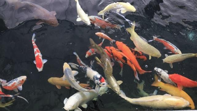 berrak suda yüzen koi balık renkli - i̇htiyoloji stok videoları ve detay görüntü çekimi