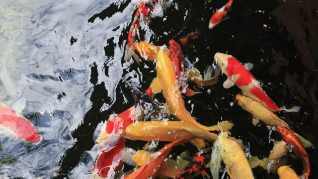 yansıtıcı ışık ile berrak suda yüzen koi balık renkli - i̇htiyoloji stok videoları ve detay görüntü çekimi
