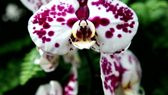 HD CLOSE UP: Colorful orchid's blossom video
