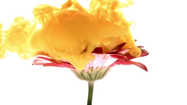 Colorful paint cloud spraying on beautiful flower on white background. video