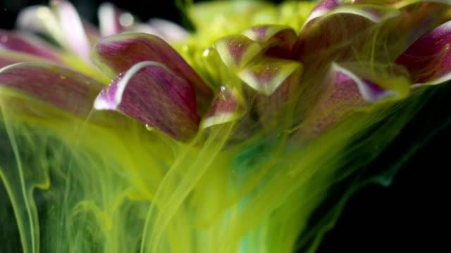 vídeos y material grabado en eventos de stock de la tinta colorida de la pintura fluye una flor en el agua - manzanilla