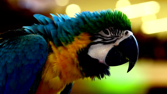 colorful parrot macaw video